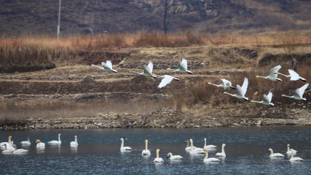 图1:迁徙到野三坡的白天鹅