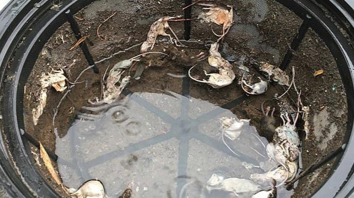 恐怖!澳洲鼠患严重,女子发现数十只老鼠死在水箱中