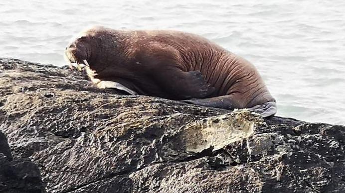 爱尔兰惊现海象,疑似在冰山睡着从北极漂流过来