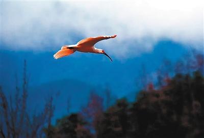 野生朱鹮在留坝县城水域上空嬉戏翱翔 通讯员 黄黎 刘君杰 摄