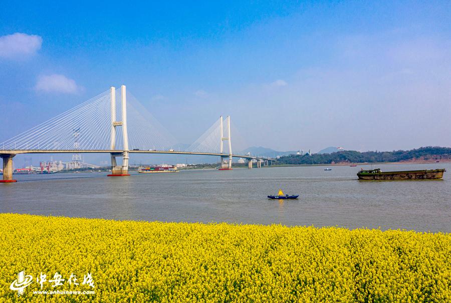 长江岸边盛开的油菜花给大地铺上金色地毯 (1).jpg