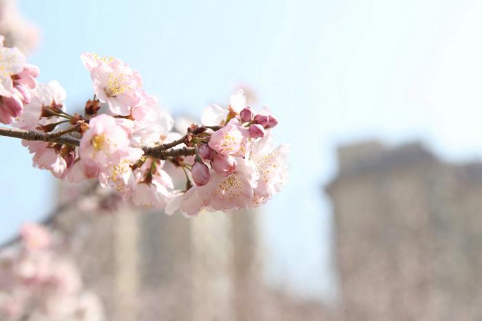 重磅!第七届中国(鹤壁)樱花文化节4月2日开幕 23项活动樱你精彩