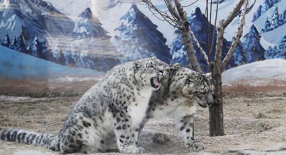 """3月13日,青藏高原野生动物园雪豹馆内,""""傲雪""""(左)陪伴21岁的""""大豹""""(右)散步。 中新社记者 马铭言 摄"""