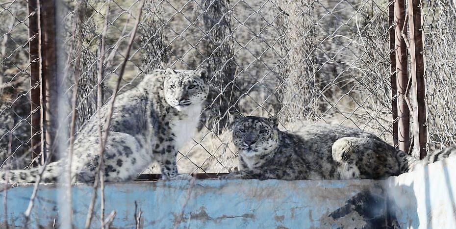 """3月13日,青藏高原野生动物园雪豹馆内,""""傲雪""""(左)陪伴21岁的""""大豹""""(右)享受春日暖阳。副园长齐新章介绍,为了雪豹的身心健康,2017年,动物园尝试以科学、理性的技术将年幼的雌性""""傲雪""""和年老的雄性""""大豹""""合笼饲养,发现""""大豹""""在""""傲雪""""的陪伴和带动下,活动量明显增加。据悉,2000年出生的""""大豹""""今年已21岁(相当于人类105岁),突破雪豹的寿命极限值,且身体各项指标稳定。 中新社记者 马铭言 摄"""