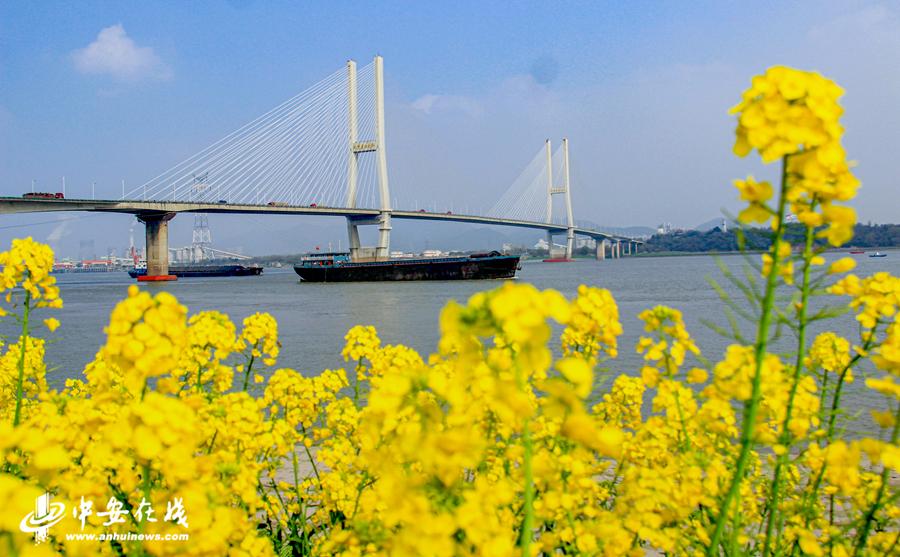 长江岸边盛开的油菜花给大地铺上金色地毯 (4).jpg