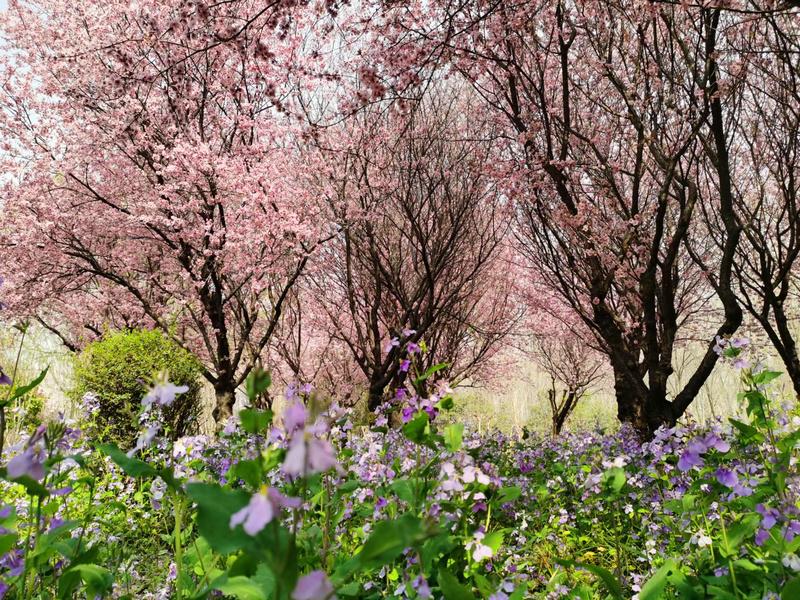 快收藏!鹤壁樱花节来啦,全方位赏樱攻略奉上