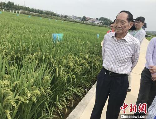 资料图:袁隆平正在田间察看水稻生长情况。 唐小晴 摄