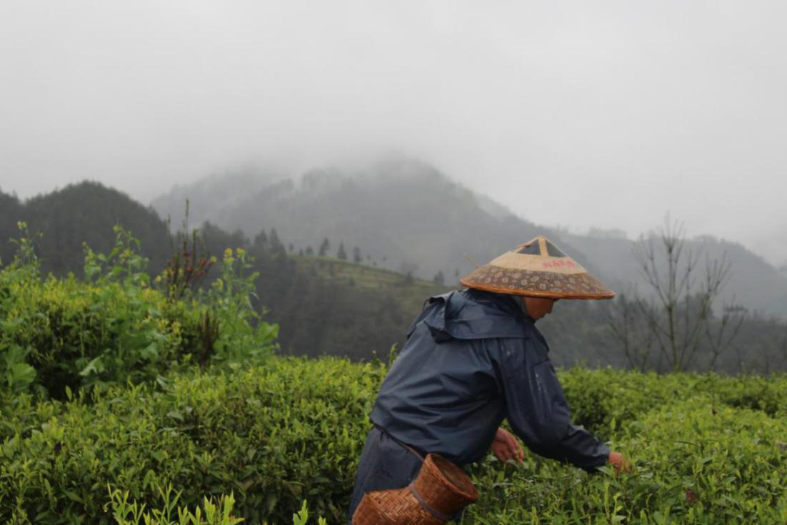 茶农在茶园里采摘新鲜茶叶