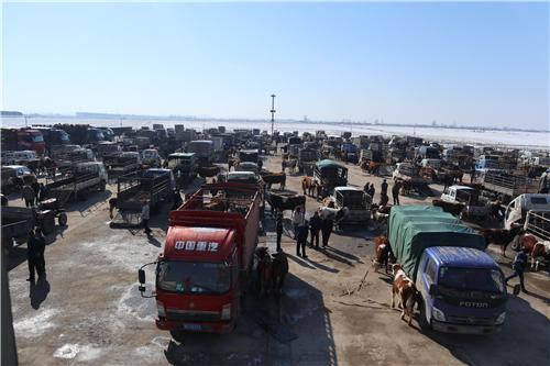 巴彦县牲畜交易大市场搭好平台助推畜牧业发展
