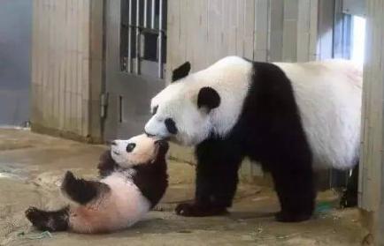 """熊猫""""香香""""和妈妈""""仙女"""""""