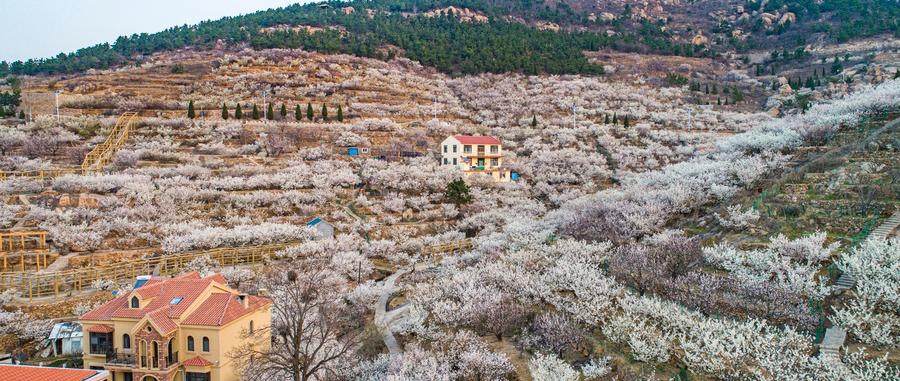 青岛樱桃花开雪满山 吸引八方游客踏春赏花