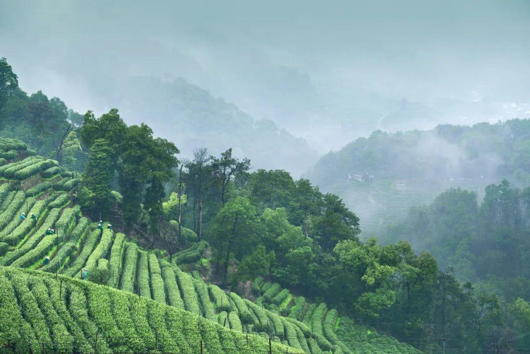 请收藏:中国春茶地图!