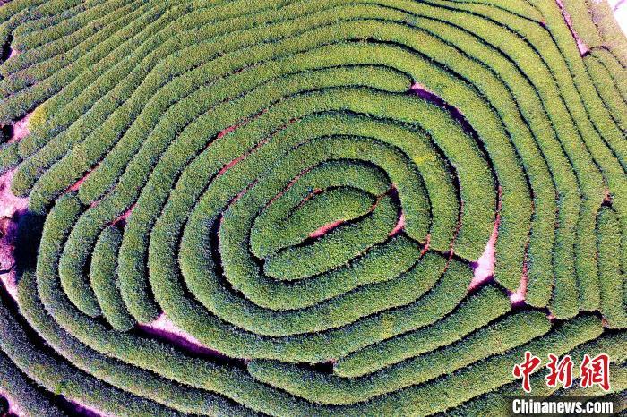 空中鸟瞰福建漳平台湾农民创业园里整齐的茶园。 王东明 摄