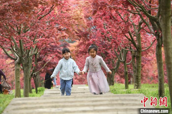 重庆五洲园漫山红枫色彩艳丽显壮观