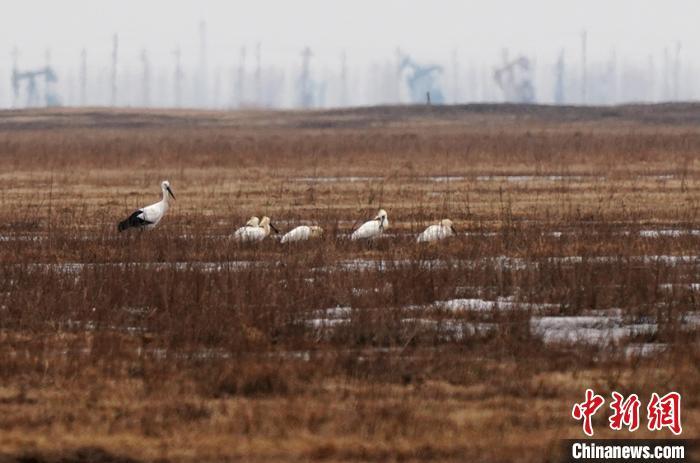 """早早来到莫莫格湿地的白琵鹭""""先遣队""""。 潘晟昱 摄"""