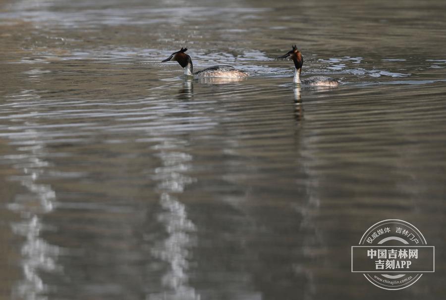 凤头鸊鷉成对或集成小群活动在既是开阔水面又长有芦苇水草的湖泊中,极善水性。