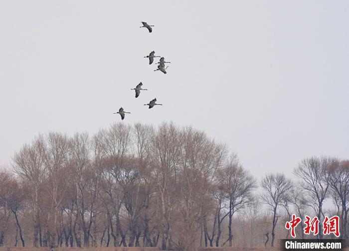 飞跃丛林的灰鹤小家族。 潘晟昱 摄