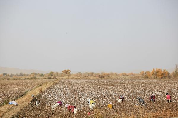棉花地里忙碌的采棉工人
