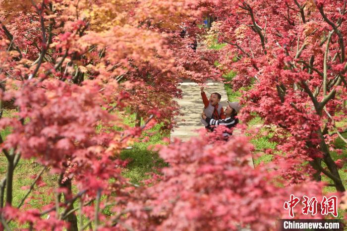 市民正在枫树下玩耍娱乐。 陈超 摄