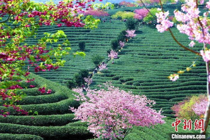重重叠叠的茶山和盛开的樱花交相辉映,成为福建漳平台品樱花茶园的美丽风景线。 王东明 摄