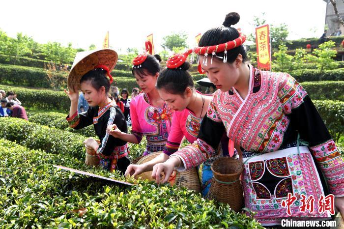 福州春伦万亩生态茶园,身着传统服饰的采茶女正在采茶。 王东明 摄