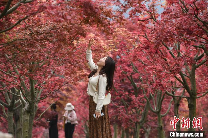 市民正在观赏红枫。 陈超 摄