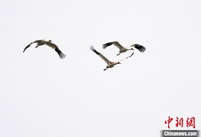 自由翱翔的白鹤一家三口。 潘晟昱 摄