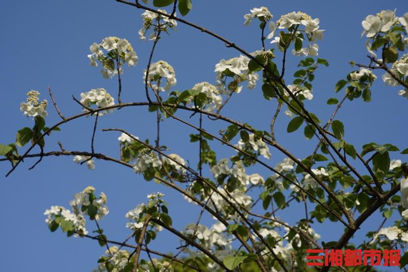 开福区紫凤公园内的琼花