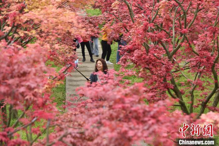 市民正在枫树下玩耍拍照。 陈超 摄
