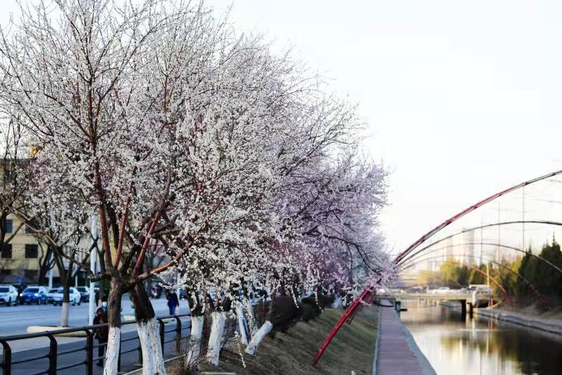 沈阳铁西卫工河畔的桃花开了!快来这里拍下今年春天第一张美照!