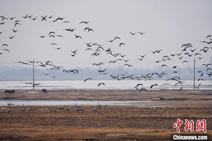 大量灰鹤集结在莫莫格湿地。 潘晟昱 摄