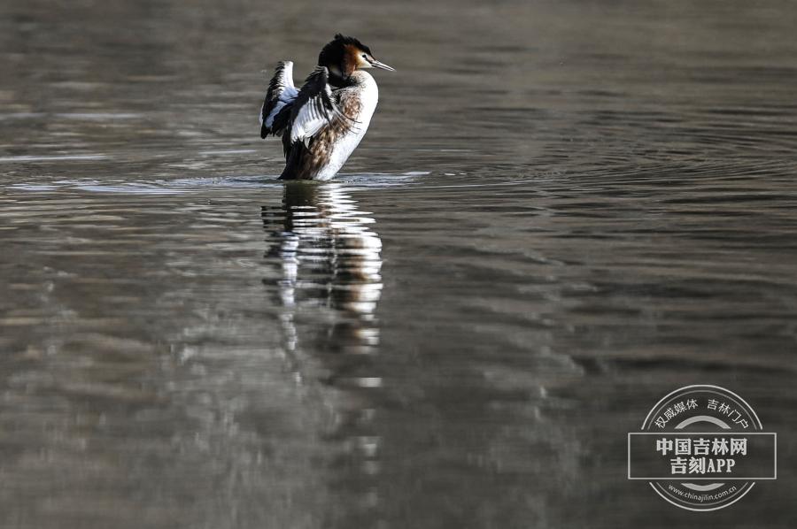 凤头鸊鷉体长多为50厘米以上,体重为0.5-1千克。前额和头顶部黑褐色,枕部两侧的羽毛往后延伸,分别形成束羽冠。