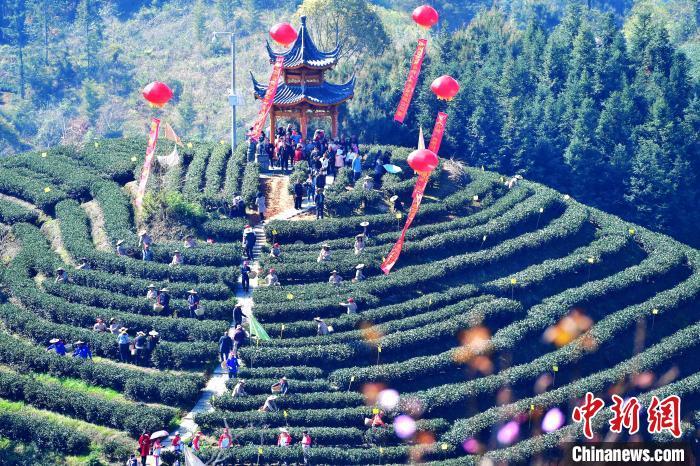 """""""中国白茶之乡""""福建政和举办白茶开采节。 张斌 摄"""