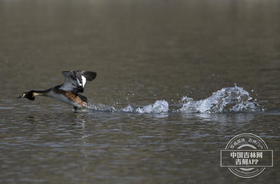 凤头鸊鷉极善水性,它们时常把头部朝下没进水里,接着完成一个前滚翻动作,然后在水下做一段高速度潜泳,再在远处露头冒出水面。