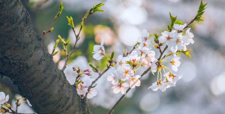 海大嶗山校區櫻花迎來唯美時刻 校園賞花可提前預約