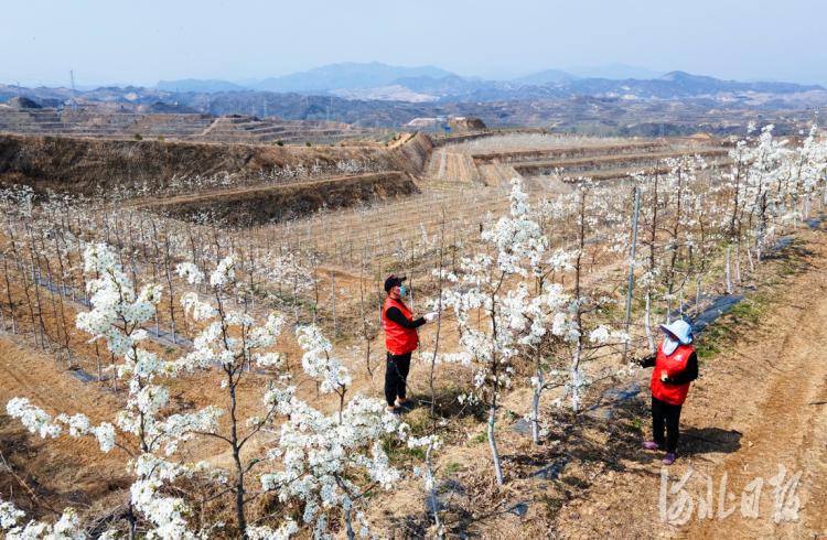 2021年4月6日,阜平县大道农业示范园区内,工作人员正在给梨花授粉。河北日报记者赵海江摄