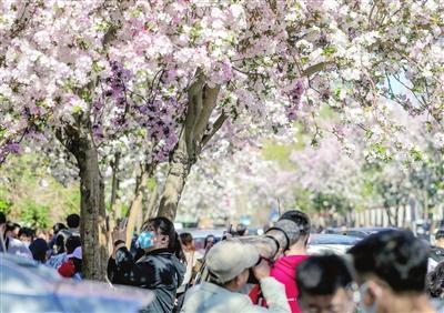 清明假期首日,五大道第七届赏花节如约而至,游人如织,畅游在花海之中。