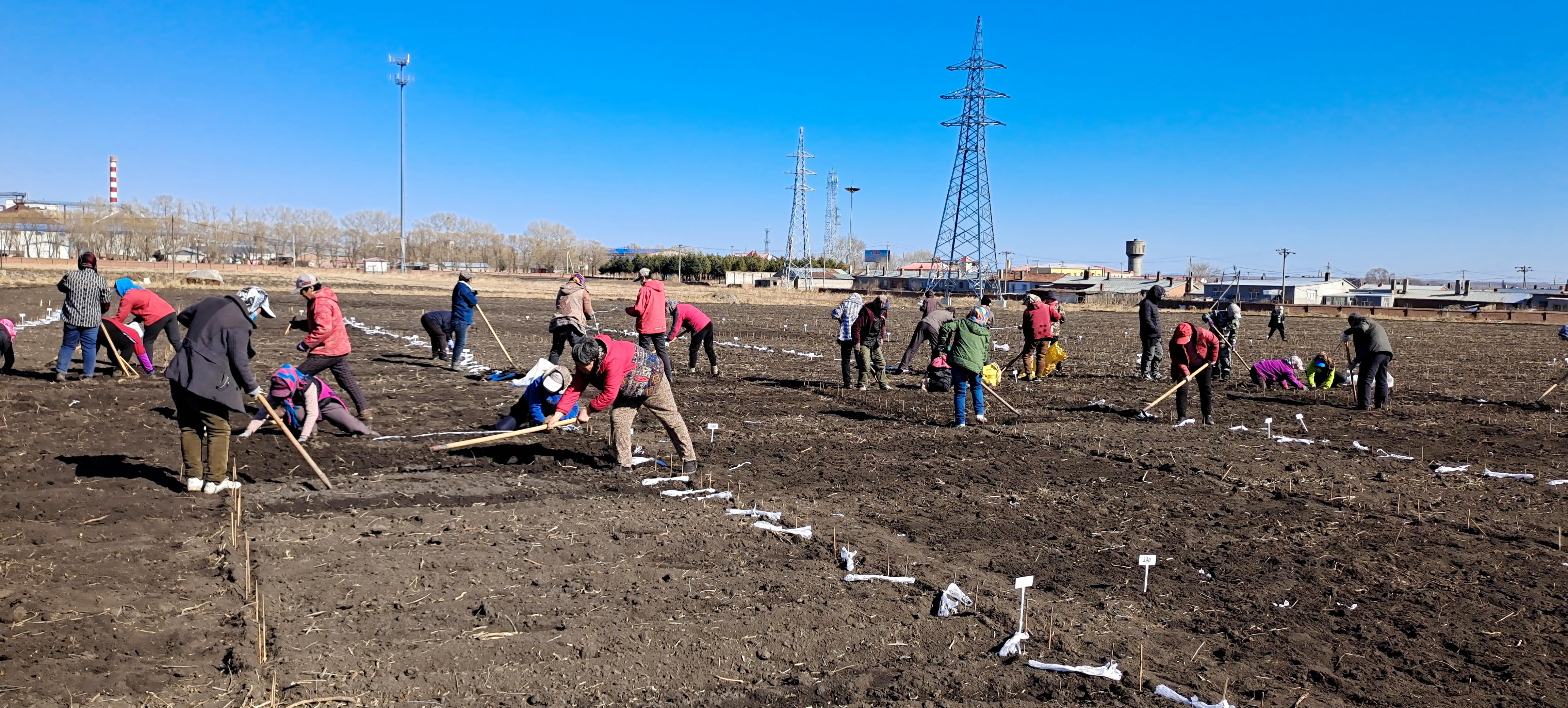 克山分院小麦育种材料播种现场