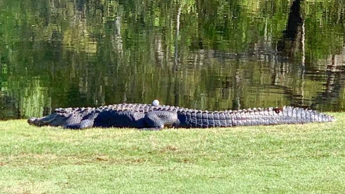 诡异一幕!男子将高尔夫球打到2米长鳄鱼背上