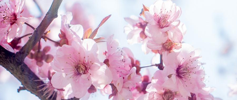 活動豐富多彩 青島西海岸新區王臺萬畝桃花進入盛花期