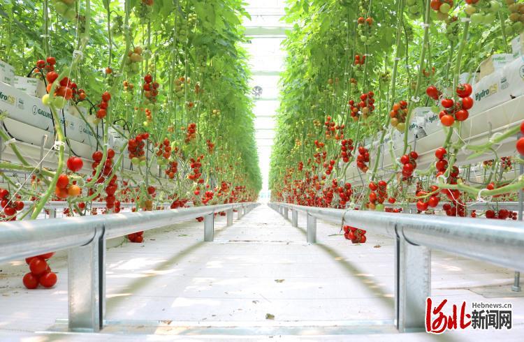 图为邢台市南和区绿色蔬菜种植基地。 河北日报记者郝东伟摄