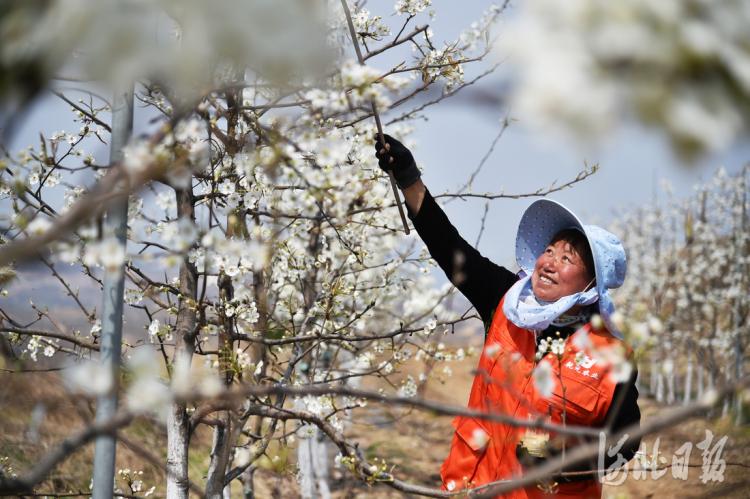 2021年4月6日,阜平县大道农业示范园区内,工作人员正在给梨花授粉。 河北日报记者赵海江摄