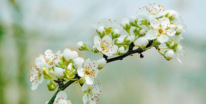 迎來盛花期 青島西海岸新區雪白的梨花掛滿枝頭
