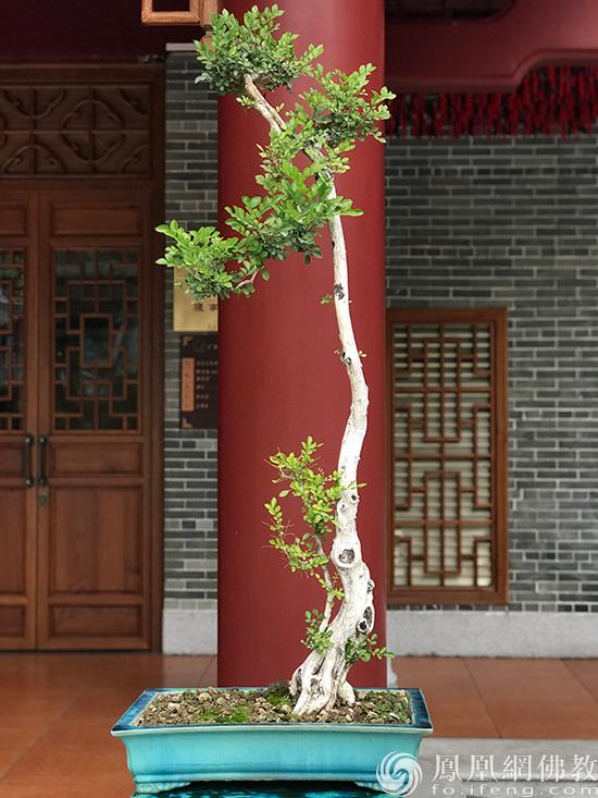 海幢寺盆栽(图片来源:凤凰网佛教 摄影:妙传)