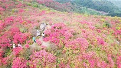 石城县:万亩野生杜鹃花开成海