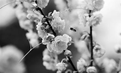 """花间""""蜂""""景醉人 4月10日,在唐山市海港经济开发区湖林新河生态公园,蜜蜂在花间徘徊。 新华社发(李磊 摄)"""