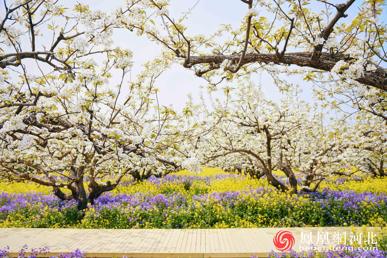 梨园春韵:晋州万亩梨花景色宜人
