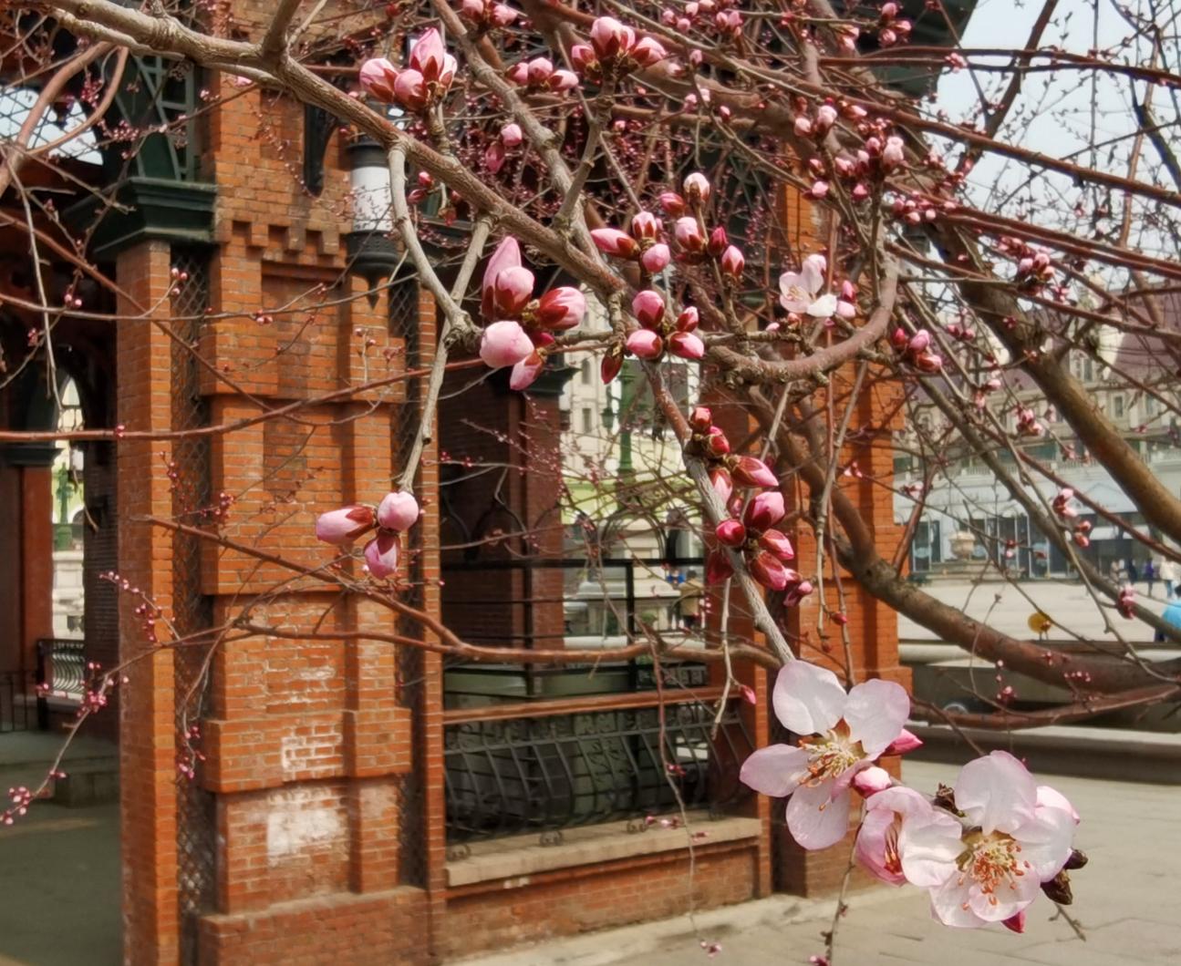 盛开的京桃花散发着花香