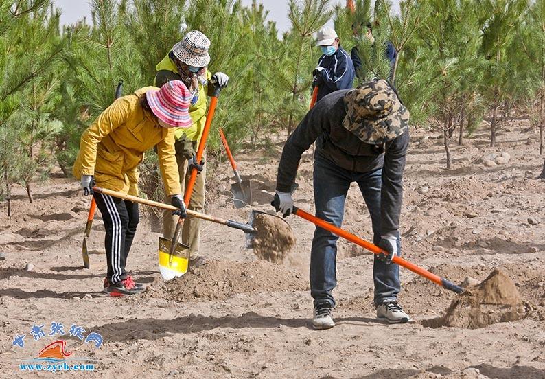 4月15日,张掖干部职工和社会各界群众来到张肃公路黑河大桥西南侧黑河滩万亩常青林基地植树现场,挥锹铲土、挖坑、栽苗。