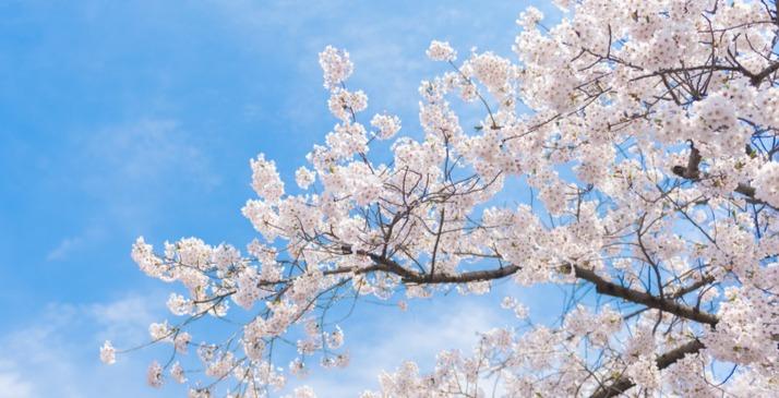 青岛中山公园单樱落花期将至 最后华美时刻不要错过